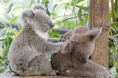 Koala-australisches gebürtiges gefährdetes Tier stockbild