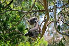 Koala-Bär stockbild
