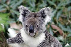 Koala-Bär stockfoto