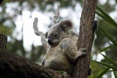 Koala-Bär Australien, das in den Bäumen sitzt lizenzfreie stockfotos
