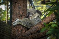 Koala-Bär, der in einem Baum schläft Stockfotos
