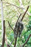 Koala-Bär, der im Baum schläft Stockfoto