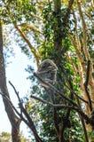Koala-Bär, der im Baum schläft Stockbilder