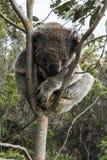 Koala-Bär, der im Baum schläft Lizenzfreie Stockfotos