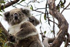 Koala-Bär mit Joey Lizenzfreie Stockfotografie