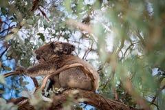 Koala-Bär und sein Baby Lizenzfreie Stockbilder