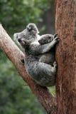Koala-Bären-Mutter und Schätzchen Stockbild
