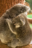Koala baby. Wild koala baby, Phascolarctos cinereus, Australia royalty free stock photo