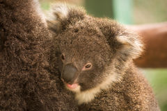 Koala baby. Wild koala baby, Phascolarctos cinereus, Australia royalty free stock photos