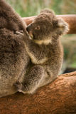 Koala baby. Wild koala baby, Phascolarctos cinereus, Australia stock photo