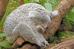Koala with Baby Stock Image