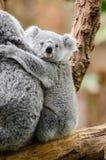 Koala Baby stock photo