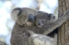 Koala with baby  Anna bay, New  South Wales Stock Images