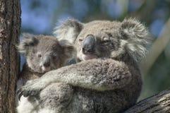 Koala with baby in gum tree Stock Photos
