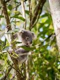 Koala: Baby Kokala 001 Royalty-vrije Stock Foto