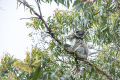 Koala with baby Stock Photo