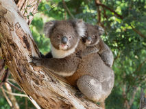 Koala baby on mother`s back. Koala mother carrying baby on her back stock photo