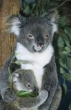 Koala baby with mother sitting in tree Royalty Free Stock Photo