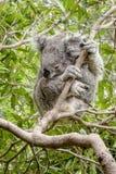 Koala bagnata in un albero di gomma Fotografie Stock