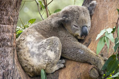 Koala Bea, Sydney, Austrália. imagens de stock