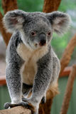 Koala Bear #1 Stock Photos