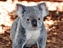 Koala Bear. A koala bear sitting on the ground Royalty Free Stock Image