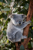 Koala Bear. Up a branch in gumtree Royalty Free Stock Photos