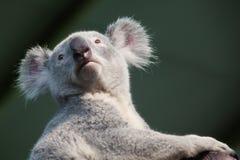 Koala bear. A portrait of Koala bear Royalty Free Stock Photo