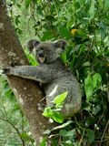 Koala Bear stock photography