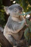 Koala Bear. Little Koala Bear eating Eucalyptus Leaves Royalty Free Stock Photos