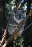 Koala Bear. Gold Coast, Australia Stock Photography