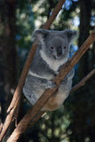 Koala Bear. Stock Photography