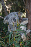 Koala Bear. Gold Coast, Australia Royalty Free Stock Photos