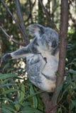 Koala Bear. Royalty Free Stock Photo