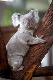 Koala Bear. A Koala is a marsupial native to Australia. The koala is found in coastal regions of eastern and southern Australia. The koala lives almost entirely royalty free stock images