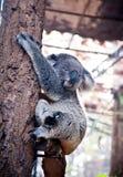 Koala bear Royalty Free Stock Photography