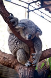 Koala bear Royalty Free Stock Photos