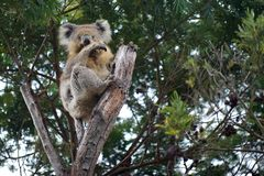 Koala Bear. Shame looking at you stock photography