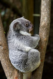 Koala bear Royalty Free Stock Photography