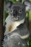 Koala Bear #3 Royalty Free Stock Photography