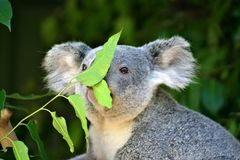 Koala Bear. Stock image of a Koala bear royalty free stock photos