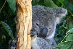 Koala Bear. The Koala (Phascolarctos cinereus) is a thickset arboreal marsupial herbivore native to Australia Stock Photo