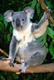 Koala Bear. The Koala (Phascolarctos cinereus) is a thickset arboreal marsupial herbivore native to Australia Royalty Free Stock Image