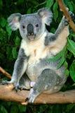 Koala Bear. The Koala (Phascolarctos cinereus) is a thickset arboreal marsupial herbivore native to Australia Stock Photography