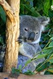 Koala Bear. The Koala (Phascolarctos cinereus) is a thickset arboreal marsupial herbivore native to Australia Stock Photos