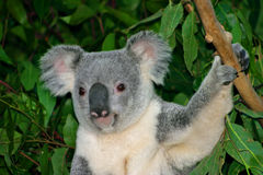 Koala Bear. The Koala (Phascolarctos cinereus) is a thickset arboreal marsupial herbivore native to Australia Royalty Free Stock Images