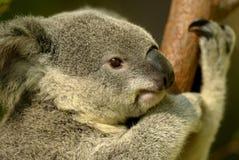 Koala Bear stock photos