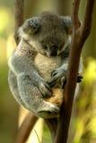 Koala Bear. An Australian Koala Bear in the wild stock photo