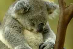 Koala Bear. An Australian Koala Bear in the wild stock images