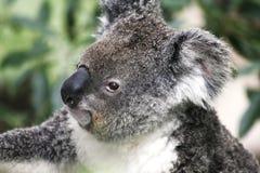 Koala Bear. Sitting On Eucalyptus Tree, Australia Royalty Free Stock Photos